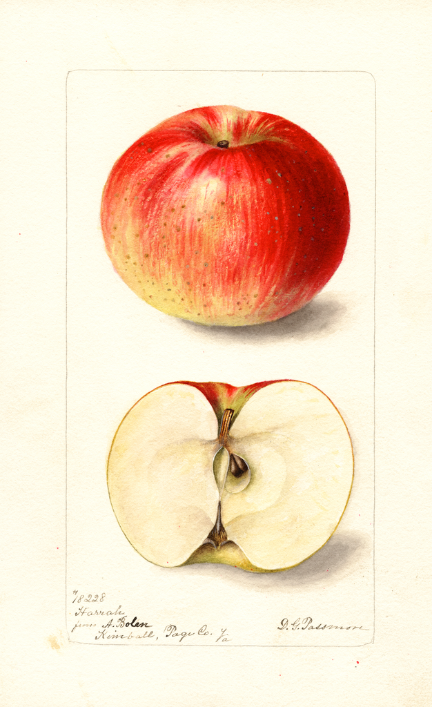 Apples, Harrah (1899)