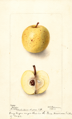 Apples, Harrison (1899)