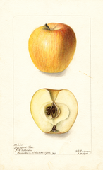 Apples, Hartford Rose (1901)