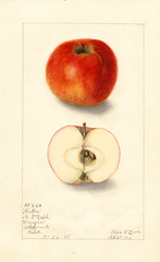 Apples, Hartley (1906)