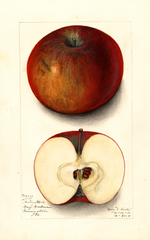 Apples, Hartley (1911)