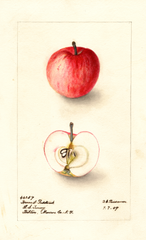 Apples, Harvest Redstreak (1909)
