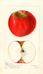 Apples, Hastings Red (1901)
