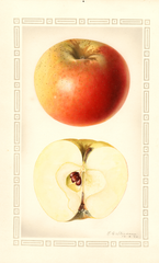 Apples, Haswell (1928)