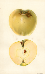 Apples, Hawley (1930)