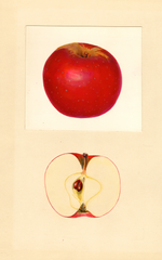 Apples, Faurot (1938)