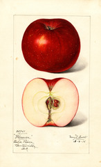 Apples, Florence (1915)
