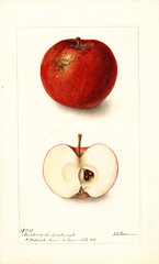 Apples, Flushing Spitzenburg (1899)