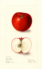 Apples, Gem City (1908)