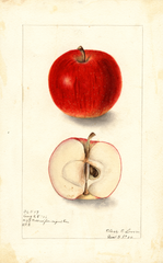 Apples, Collins (1906)
