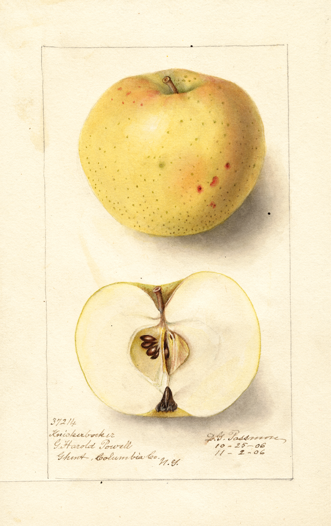 Apples, Knickerbocker (1906)
