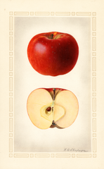 Apples, Kinnard (1925)