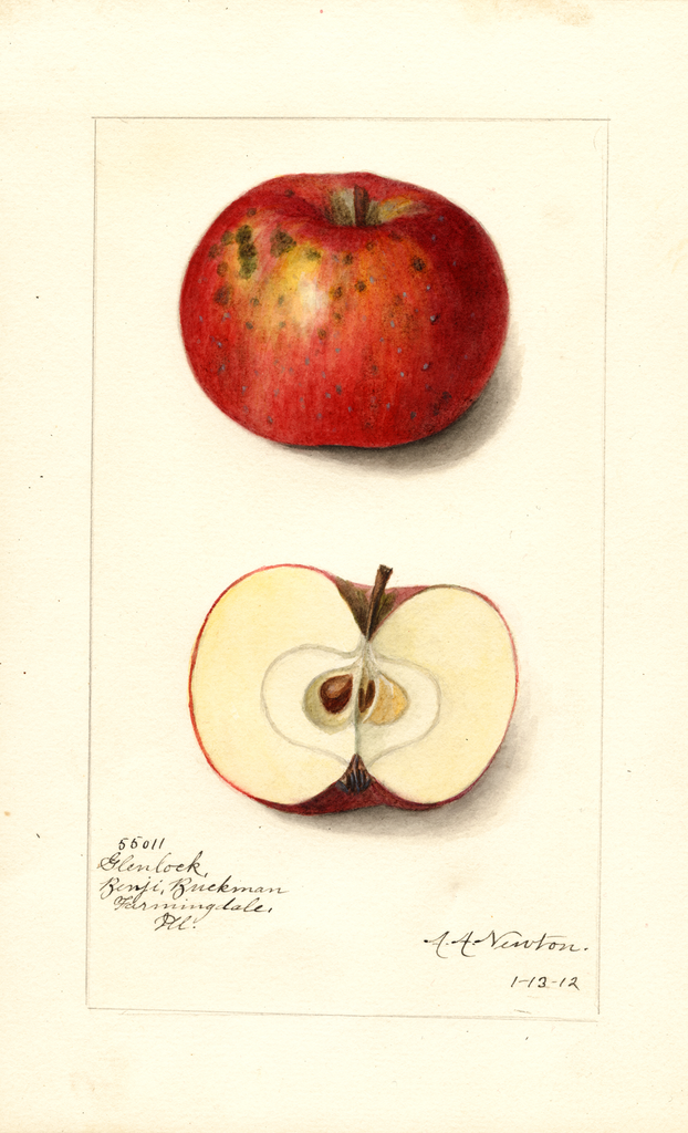 Apples, Glenlock (1912)
