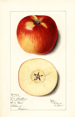 Apples, Jonathan (1915)