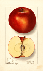 Apples, Lawver (1910)