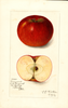 Apples, Kinnard (1912)