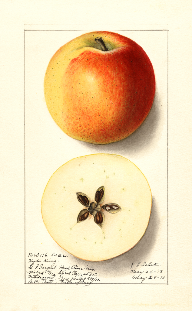 Apples, Hyde King (1913)