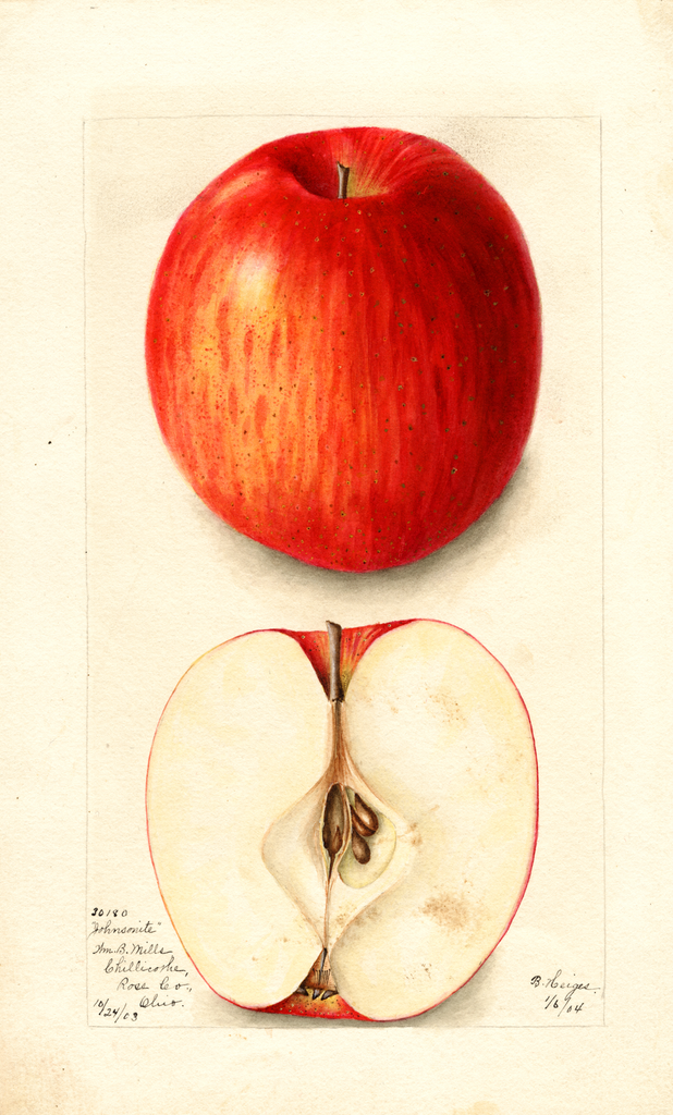 Apples, Johnsonite (1904)