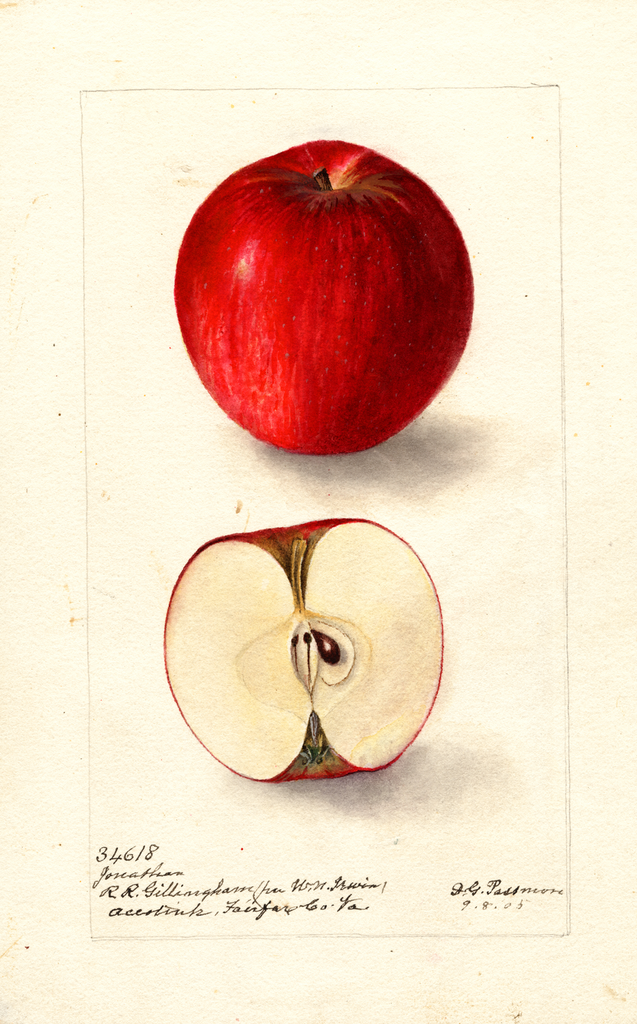 Apples, Jonathan (1905)