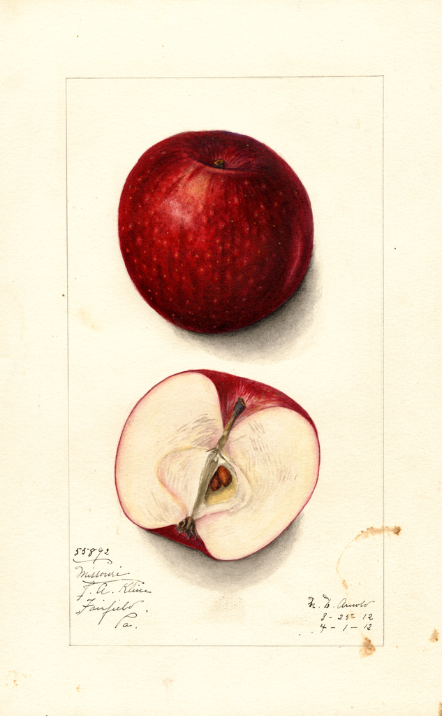 Apples, Missouri Pippin (1912)