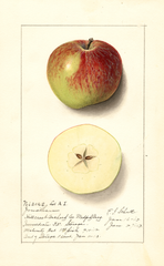 Apples, Jonathan (1913)