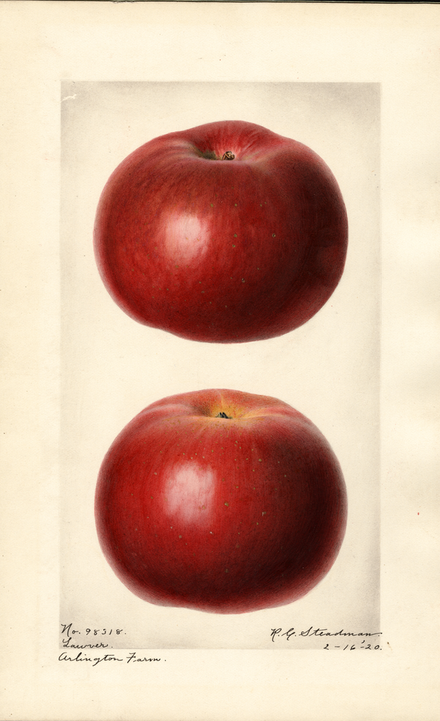 Apples, Lawver (1920)