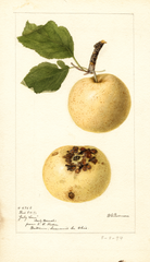 Apples, July Sour (1894)
