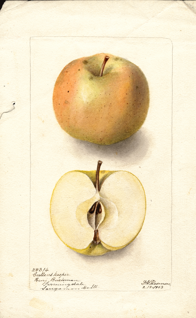 Apples, Cullens Keeper (1903)