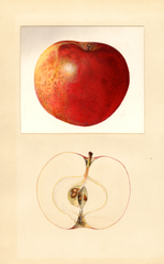 Apples, Milton (1934)