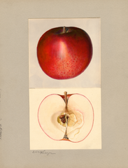 Apples, Milton (1935)