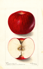 Apples, Monsees (1900)