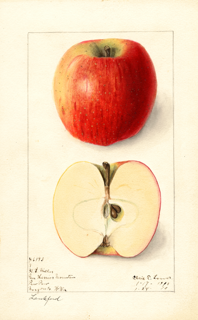 Apples, Lankford (1910)