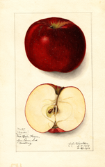 Apples, Logan (1914)