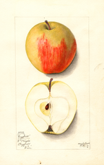 Apples, Longfield (1912)