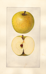 Apples, Lowell (1925)