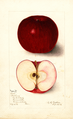 Apples, Magnate (1906)