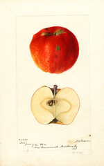 Apples, Nero (1894)