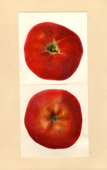 Apples, Newfane (1939)