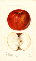 Apples, Loy (1895)