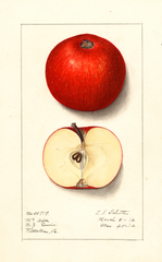 Apples, Mcafee (1912)
