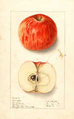 Apples, Mcafee (1910)