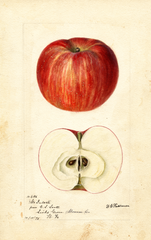 Apples, Mcintosh (1895)