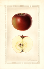 Apples, Mcintosh (1930)
