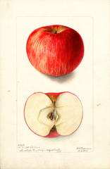 Apples, Mcclellan (1901)