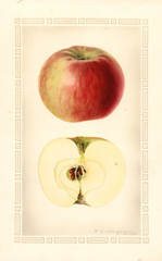 Apples, Melba (1929)