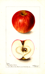 Apples, Paynes Late Keeper (1901)