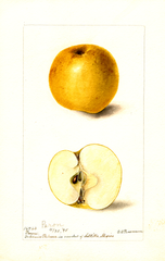 Apples, Peron (1898)
