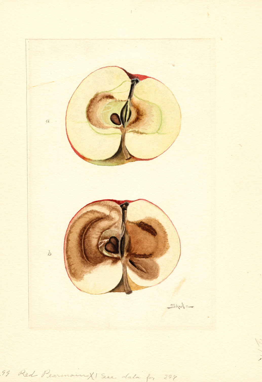 Print of Apples, Red Pearmain (1910) Poster on Vintage Visualizations