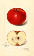 Apples, Red Canada (1916)