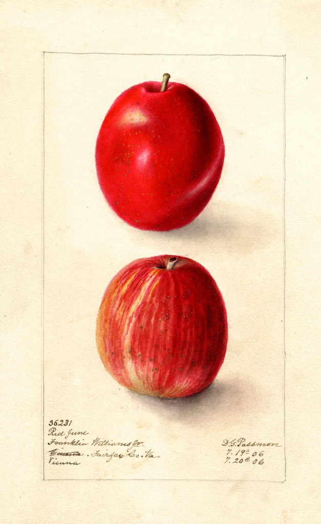 Apples, Red June (1906)